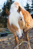 Beautiful Haflinger horse is eating branches Royalty Free Stock Images