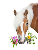 Beautiful Haflinger Horse with natural herbs in her mouth Royalty Free Stock Image