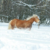 Beautiful haflinger with long mane running in snow Stock Photography