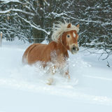 Beautiful haflinger with long mane running in snow Stock Images
