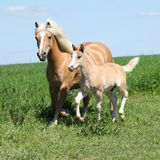 Beautiful haflinger mare with a foal Stock Photography