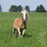 Beautiful haflinger running in freedom while eating grass Stock Photography