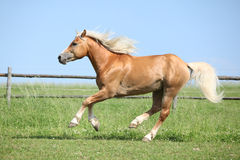 Beautiful haflinger stallion running on pasturage Stock Images
