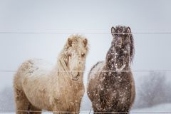 Beautiful hairy horses standing behing the electric fence in heavy snowfall. Norwegian farm in the winter. Horses in blizzard. Beautiful farm animals Stock Photo