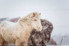 Beautiful hairy horses standing behing the electric fence in heavy snowfall. Norwegian farm in the winter. Horses in blizzard. Beautiful farm animals Stock Photos