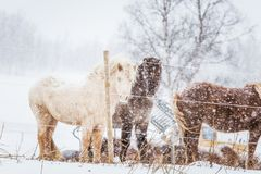 Beautiful hairy horses standing behing the electric fence in heavy snowfall. Norwegian farm in the winter. Horses in blizzard. Beautiful farm animals Stock Image