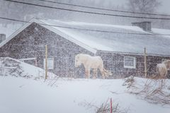 Beautiful hairy horses standing behing the electric fence in heavy snowfall. Norwegian farm in the winter. Horses in blizzard. Beautiful farm animals Royalty Free Stock Image