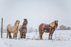 Beautiful hairy horses standing behing the electric fence in heavy snowfall. Norwegian farm in the winter. Horses in blizzard. Beautiful farm animals Royalty Free Stock Photos