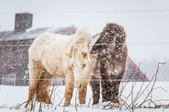 Beautiful hairy horses standing behing the electric fence in heavy snowfall. Norwegian farm in the winter. Horses in blizzard. Beautiful farm animals Royalty Free Stock Photography