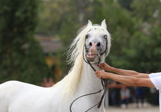 Beautiful half-bred stallion posing on a horse event Royalty Free Stock Photography