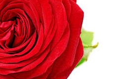 Beautiful half red  rose flower. Isolated. Royalty Free Stock Photography