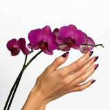 Beautiful hand touching orchid Royalty Free Stock Photography