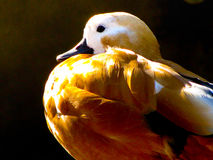 Beautiful Handcarved and painted duck. Beautiful Handcarved and painted Canvasback duck Royalty Free Stock Image
