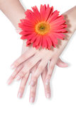 Beautiful hands with daisy. White background stock image