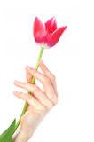 Beautiful hands with french manicure and tulip Royalty Free Stock Image