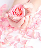 Beautiful hands holding rose Stock Images