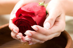 Beautiful hands with rose Stock Image