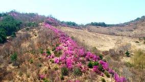 Beautiful Jindalai flower, xiaohelong village, Yanji City, Yanbian Prefecture, Jilin Province, China