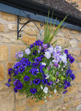 Beautiful hanging basket of blue and purple pansies Stock Image