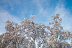 Beautiful hanging birch trees against a blue sky on a winter day. Fabulously beautiful hanging birch trees with snow-covered branches against a blue winter sky Stock Images
