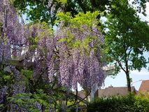 beautiful hanging purple flower in a german garden Europe Royalty Free Stock Images