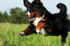 Beautiful happy Bernese mountain dog royalty free stock photography