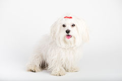 Beautiful happy bichon maltese puppy dog is sitting frontal. And looking at camera, isolated on white background with a colored ball stock photography