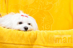 Beautiful happy bichon maltese puppy dog is sitting frontal. And looking at camera, isolated on white background with a colored ball Royalty Free Stock Image