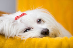 Beautiful happy bichon maltese puppy dog is sitting frontal. And looking at camera,  on white background with a colored ball Stock Photos