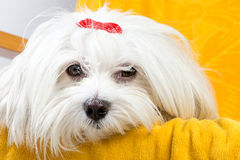 Beautiful happy bichon maltese puppy dog is sitting frontal. And looking at camera on a yellow chair Stock Photography