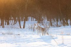 Beautiful, happy and cute beige and white dog breed siberian husky standing on the snow in the winter forest at sunset. Portrait of beautiful, happy and cute stock photos