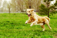Beautiful happy dog Golden Retriever running around and playing. In the summer on the nature stock image