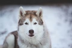 Beautiful, happy and free Siberian Husky dog lying on the snow path in thedark forest in winter. Close-up Portrait of beautiful, happy and free Siberian Husky royalty free stock images