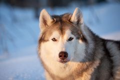 Beautiful, happy and free Siberian Husky dog lying on the snow path in the winter forest at golden sunset. Close-up Portrait of beautiful, happy and free royalty free stock photo