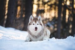 Beautiful, happy and free Siberian Husky dog lying on the snow path in the winter forest at sunset. Close-up Portrait of beautiful, happy and free Siberian Husky royalty free stock photo