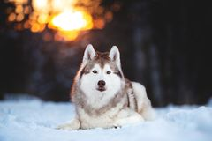 Beautiful, happy and free Siberian Husky dog lying on the snow path in the winter forest at sunset. Close-up Portrait of beautiful, happy and free Siberian Husky stock photo