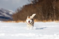 Beautiful, happy and funny beige and white dog breed siberian husky running on the snow in the winter field. Portrait of beautiful, happy and funny beige and royalty free stock image