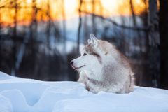 Beautiful, happy and lovely Siberian Husky dog lying on the snow in the winter forest at golden sunset. Profile Portrait of beautiful, happy and lovely Siberian stock photo