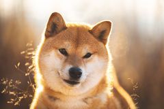 Beautiful and happy red Shiba inu dog sitting in the field at sunset. Close-up portrait of a cute and happy red dog breed Shiba inu sitting in the field at stock photo