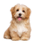 Beautiful happy reddish havanese puppy dog is sitting frontal. And looking at camera, isolated on white background