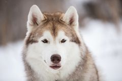 Beautiful and happy Siberian Husky dog sitting on the snow in the forest in winter. Close-up Portrait of beautiful, happy and free Siberian Husky dog sitting on royalty free stock images