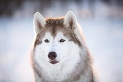 Beautiful and happy Siberian Husky dog sitting on the snow in the winter forest. Close-up Portrait of beautiful, happy and free Siberian Husky dog sitting on the stock images