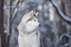 Beautiful and happy siberian Husky dog standing on the snow in the fairy winter forest. Profile Portrait of beautiful, happy and free siberian Husky dog sitting stock images