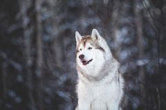 Beautiful and happy siberian Husky dog standing on the snow in the fairy winter forest. Profile Portrait of beautiful, happy and free siberian Husky dog sitting royalty free stock image