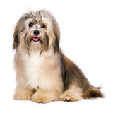Beautiful happy young Bichon Havanese dog Royalty Free Stock Images