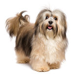 Beautiful happy young Bichon Havanese dog Stock Images