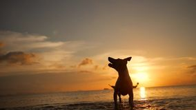 Beautiful Happy Young Woman Playing with Jack Russell Dog at Beach During Amazing Sunset. Koh Phangan, Thailand. HD stock video footage