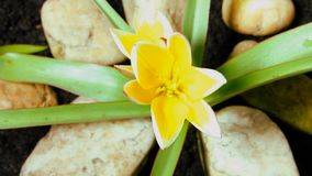 Tulip timelapse, flower opens stock video footage
