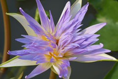 Beautiful Hardy water lily Royalty Free Stock Photos
