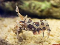 Harlequin shrimp Hymenocera picta is a species of saltwater shrimp found at coral reefs in the tropical Indian and Pacific ocean. A beautiful Harlequin shrimp stock photo